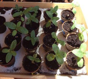 Nuestro plantel de girasoles con pipas de IKEA