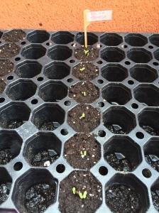 ¡Han germinado todas las semillas en menos de 72 horas!