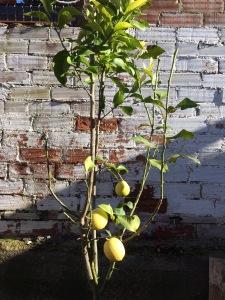 Nuestro joven limonero