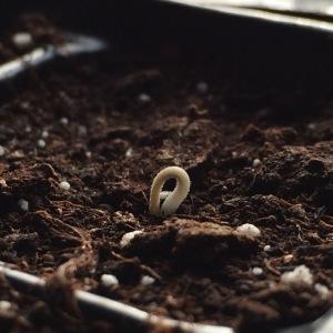 Día 8 - Las tomateras empiezan a ser una realidad